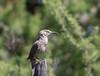 Curve-billed Thrasher (Toxostoma curvirostre) (Susan Jarnagin) Tags: bird toxostomacurvirostre portal thrasher chiricahuas curvebilledthrasher cochisecounty az arizona
