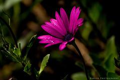Daisy Pollen Flower (Babish VB) Tags: nikondslr nikon nikond90 flowercloseup flowerpics flowerphoto flowerphotography flower naturebeauty naturesart naturelover naturephotos naturesbest