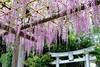 Wisteria in Haijima (seiji2012) Tags: 藤 日吉神社 昭島市 紫 鳥居 akishima tokyo shrine purple toriigate