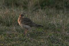 Skylark-2150 (WendyCoops224) Tags: 100400mml 80d suffolk birds canoneos springwatch wildlife ©wendycooper first light skylark sunrise dingle marsh explore explored