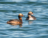 Pair of Grebes (pheasantwood) Tags: shelter island birds