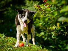 Zac at work in the garden on a sunny morning (grahamrobb888) Tags: zac pet dog mongrel goodboy nikon nikond800 d800 nikkor afnikkor80200mm128ed