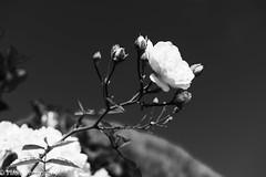 White Rose (vmonk65) Tags: nikon nikond810 sylt whiteroses bw blackwhite blackandwhite blume flower rose himmel