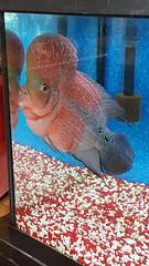 Michael (june18bug) Tags: fish flowerhorn