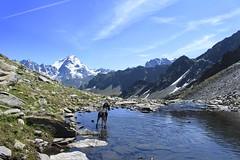Nasco dans le petit lac (bulbocode909) Tags: valais suisse bourgstpierre valdentremont montagnes nature lacs chiens paysages eau rochers nuages combins neige vert bleu groupenuagesetciel