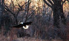 Bald Eagle (ttounces) Tags: bald eagle hunting big muddy reserve ttounces ~jan~