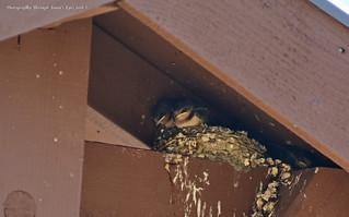 Barn Swallows (Hirundo rustica)