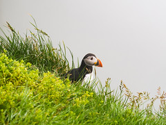 On Guard (Feldore) Tags: faroeislands puffin burrow guard guarding feldore mchugh em1 olympus 35100mm grass nest nesting mist mykines faroe islands watching misty