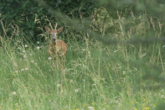 visiteur inattendu (lignesbois) Tags: animal chevreuil pentaxlife pentax k2000 supermulticoatedtakumar135mmf25