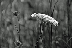 shining from the shadows (christiaan_25) Tags: queenanneslace daucuscarota wildflower flower flowers stems buds prairie wild nature blackandwhite bw monochrome