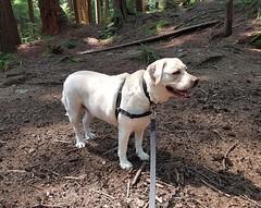 Gracie enjoying her walk (walneylad) Tags: gracie dog canine pet puppy lab labrador labradorretriever cute july summer afternoon princesspark