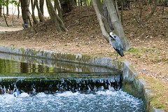 Blue Herron (Leo Kramp) Tags: 2018 tuin amsterdamsewaterleidingduinen accessoires wandelen loweproflipside300awii kikker flickr water leo kramp leokramp wwwleokrampfotografienl leokrampfotografie