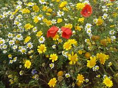 Wild Flower Meadow (jenichesney57) Tags: