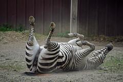 Dusty Stir-Up (MTSOfan) Tags: lvz zebra roll dustbath scratch feelsgood itch