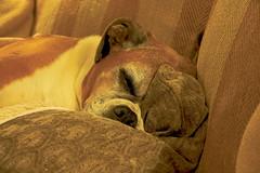 Padded (Deepgreen2009) Tags: boxer padded cushion sofa home sleeping comfort