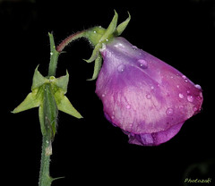 Sweet Pea-08 (photozaki) Tags: sweetpea sweetpeaintherain rain sweetpeaflower flower plant macro closeup water waterdrops