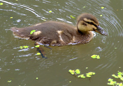 baby duck on the canal at Preston (Tony Worrall) Tags: bird duck chick wild wildlife canal green weeds swim cute nature natural splash preston lancs lancashire city welovethenorth nw northwest update place location uk england north visit area attraction open stream tour country item greatbritain britain english british gb capture buy stock sell sale outside outdoors caught photo shoot shot picture captured ashtononribble ashton