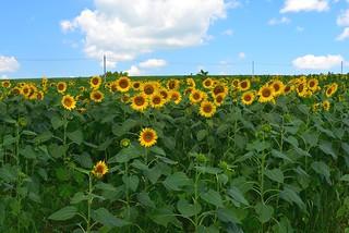Sunflower field,  Sanbongi, Osaki City  2018 ひまわり畑 大崎市三本木