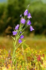 DZWONEK PIŁKOWANY (Campanula serrata) 2 (goolary) Tags: flowers beskidy kwiaty przyroda góry