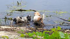 Having fun in the slushy water (GerdaKettner) Tags: tibetanterrier outdoors bassethound basset ponds scenthound pbvg lucy jimi