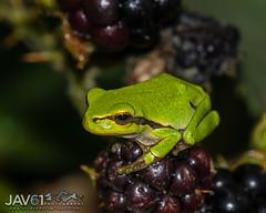European Tree frog-Hyla arborea_6849 (George Vittman) Tags: animal ngc fantasticnature toad frog tree blackberry nikonpassion jav61photography jav61 wildlifephotography
