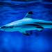 Blacktip reef shark (Carcharhinus melanopterus) of Enoshima Aquarium, Fujisawa : ツマグロ(藤沢市・新江ノ島水族館)