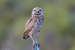CA3I3366-Burrowing Owl (tfells) Tags: burrowingowl owl bird nature wildlife idaho twinfalls
