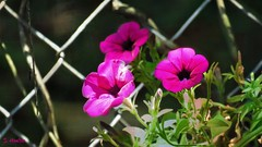 Petunias (Suzanham) Tags: petunia pink flower blooms blossoms plant annual mississippi starkville nature macro fence