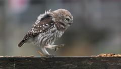 Little owl on the march (ftm599) Tags: nikond500 fence naturephotography wildlifephotography actionphotography nikon nature wildlife wild action worms hunting hunter marching walking birds bird birdofprey owls owl littleowl