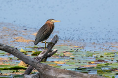 5698 (Eric Wengert Photography) Tags: butorides butoridesvirescens greenheron bird heron