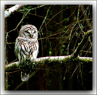 Barred Owl at Morrell Sanctuary