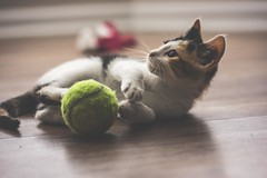 IMG_4030 (pungpungfish) Tags: adorable cute sock wine red canon 50mm photography portrait animalphotography portait kitten calico calicocat animal pet cat sport