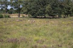 Drentse heideschapen (Jeroen Kransen) Tags: nederland netherlands drenthe heide ballooërveld balloo geotagged