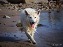 Nach dem Tauchen 7 (Brenda-Gaudi) Tags: rheinwiesen rhein hunde brenda weisseschaeferhunde germany