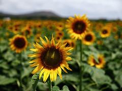 hey! (Prabhu B Doss) Tags: prabhu b doss prabhubdoss travelphotography tamilnadu sunflower flowers fields landscape garden farm fujifilm gfx50s gf3264mm