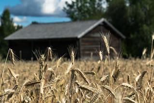 a rye field in Riuttala Farmhouse Museum 2