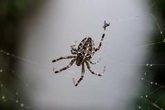 Gartenkreuzspinne / araneus diadematus / cross spider (Bernd Götz) Tags: spider crossspider araneusdiadematus