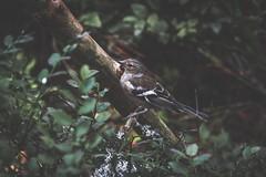 219/365 - Birdie In a Bush