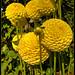Yellow Puff Ball Dahlias