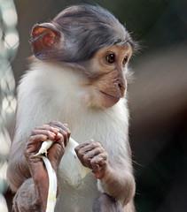 whitecapmangabey Blijdorp JN6A9502 (j.a.kok) Tags: animal africa afrika aap monkey mammal mangabey blijdorp witkruinmangabey whitecapmangabey zoogdier dier