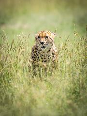 One of the fast five (ラルフ - Ralf RKLFoto) Tags: kenia kenya masaimara narok natur safari tiere animals wildlife cheetah gepard fastfive brothers