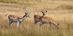 Fallow deer (damherten) (moniquedoon) Tags: deer fallowdeer damhert wildlife wild nature naturelover naturephotography