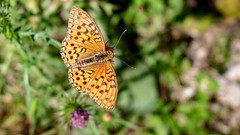 Issoria lathonia (Adi Arba) Tags: butterfly issoria lathonia closeup green park forest meadow zarnesti romania