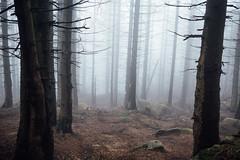 Der Weg in eine andere Welt (Gruenewiese86) Tags: harz hütte hüttenübernachtung wald wälder wandern wa waldlandschaft waldlandschaften waldboden nebel nature nadelwald nadelholz germany deutschland holz baum gras