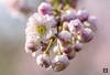 Blossom time,......... (@FTW FoToWillem) Tags: bloesem blossom springtime spring lente macro bokeh natuur nature willemvernooy fotowillem ftw flower jaargetijde netherlands nederland dutch