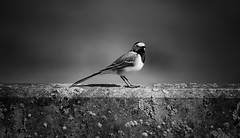 Art of a Wagtail (robert.lindholm87) Tags: nikon nikond500 nikkor 200500 telephoto bird birds animal animals bw black white blackandwhite blackwhite blacknwhite lightroom wagtail sweden vignetting