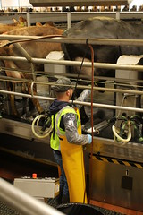 Treating Udders (Minnesota Board of Animal Health) Tags: cow antibiotics udder dairy worker man louriston