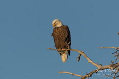 Female Bald Eagle takes a break from the nest