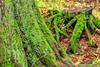 Hemlock Grove, Glacier National Park, British Columbia (aud.watson) Tags: canada britishcolumbia glaciernationalpark transcanadahighway columbiashuswapregion mountain forest tree trees conifers hemlockgrove hemlock cedar rainforest hemlockrainforest westernhemlock prucheoccidentale westernredcedar thuyageant columbianmountains lichen