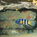 Blue devil cave - Paraplesiops bleekeri #marineexplorer